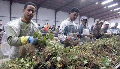Inmigrantes trabajando en un invernadero