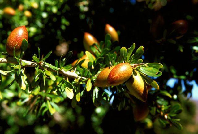 Imagen del arbol del Argán , cuyo aceite exporta Marruecos a todo el mundo